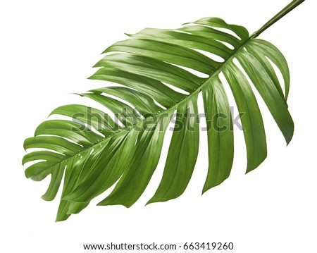 Monstera deliciosa leaf or Swiss cheese plant, isolated on white background, with clipping path #663419260