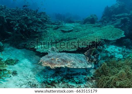 Tasselled Wobbegong (Eucrossorhinus dasypogon) swimming over a coral reef #663515179