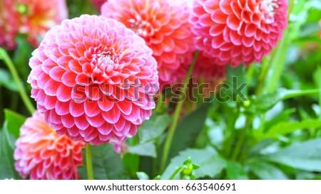 Beautiful pink dahlia Pink Dahlia #663540691