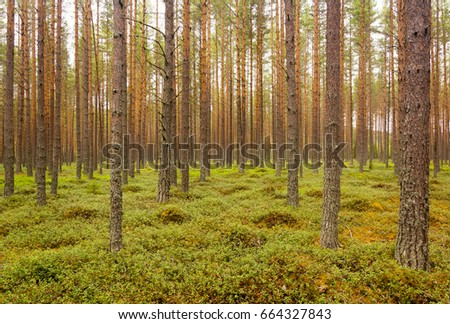 Picturesque coniferous forest with berry bushes on the ground at sunny day. Beautiful natural summer scenery. #664327843