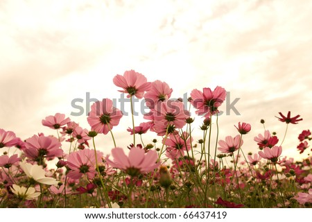 Cosmos flowers at sunset #66437419