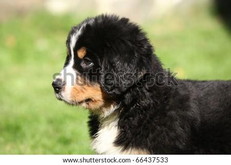 Berner Sennenhund puppy #66437533