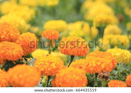 Blurry yellow flowers chrysanthemum #664435519
