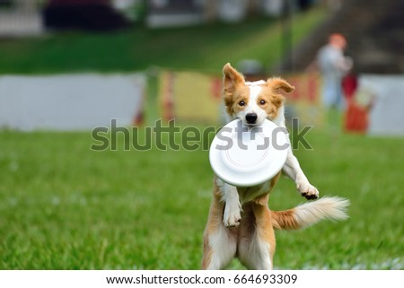 A dog is fetching the disc golf with enormous speed on an outdoor field #664693309