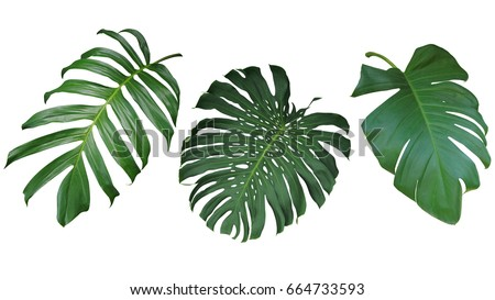 Tropical leaves set isolated on white background, clipping path included. Green leaves of Philodendron, Monstera, and Pothos the evergreen vine exotic plant. #664733593