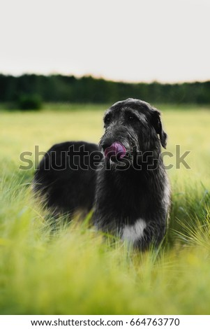 Gloomy Irish Wolfhound standing in the field of wheat licking its nose #664763770