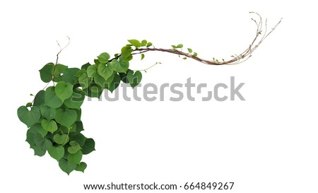Heart shaped green leaves of Obscure morning glory (Ipomoea obscura) climbing vine plant isolated on white background, clipping path included.  Royalty-Free Stock Photo #664849267