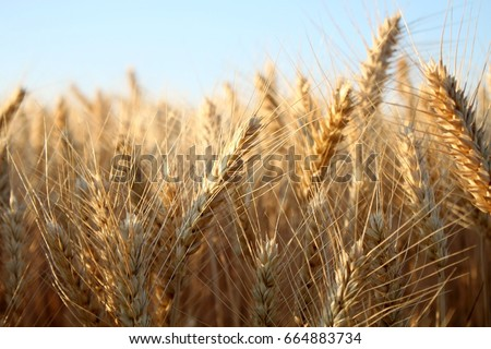 Barley  field in summer #664883734