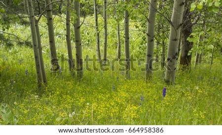 A grove of aspens high on a mountain in eastern Washington. #664958386