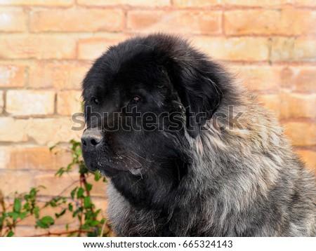 Portrait of Shepherd of the caucasus dog. #665324143