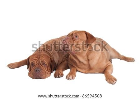 Two dogue de bordeaux waking up #66594508