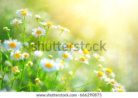 Chamomile field flowers border. Beautiful nature scene with blooming medical chamomilles in sun flare. Alternative medicine Spring Daisy. Summer flowers. Beautiful meadow. Summer background #666290875