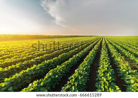 Agricultural soy plantation on sunny day - Green growing soybeans plant against sunlight  Royalty-Free Stock Photo #666615289