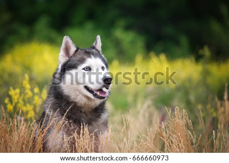A dog in the park. Siberian husky in beautiful grass and flowers. #666660973