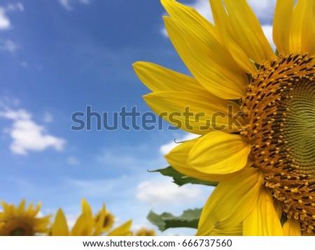 sunflower the garden  #666737560