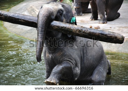 Asian Elephant carring a wooden stick in the river.