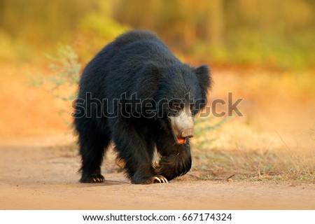 Sloth bear, Melursus ursinus, Ranthambore National Park, India. Wild Dangerous animal in India. Wildlife from Asia. Animal on the road. #667174324