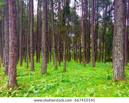 Highland pine forests in Thailand #667410145