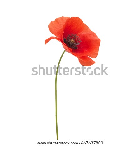 bright red poppy flower isolated on white #667637809