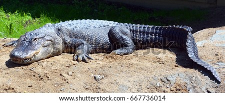 An alligator is a crocodilian in the genus Alligator of the family Alligatoridae. #667736014