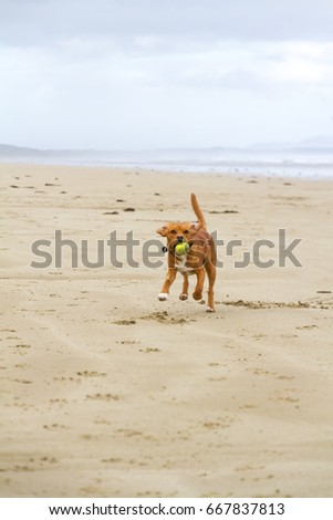 A Beaglier plays on the beach (cross between a Beagle and a King Charles Spaniel) #667837813