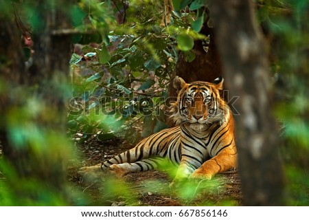 Indian tiger male with first rain, wild animal in the nature habitat, Ranthambore, India. Big cat, endangered animal. End of dry season, beginning monsoon. Royalty-Free Stock Photo #667856146