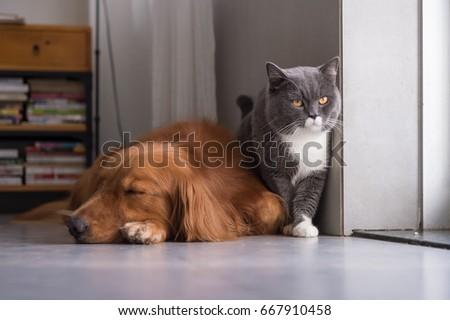 British shorthair cats and Golden Retriever #667910458