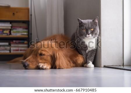 British shorthair cats and Golden Retriever #667910485