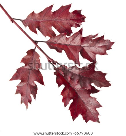 Colorful  branch of the oak tree ( Quercus rubra ) isolated #66793603