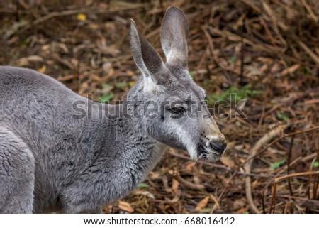 Red Kangaroo, Karijni National Park, Australia, February 2017 #668016442