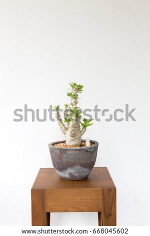 Pachypodium saundersii. #668045602