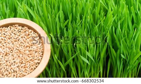 Microgreens Growing Panoramic Wheatgrass Blades Scoop Red Wheat Berries #668302534