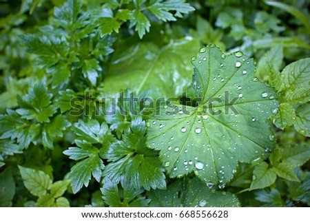 Lady's mantle and drops of water, rain #668556628