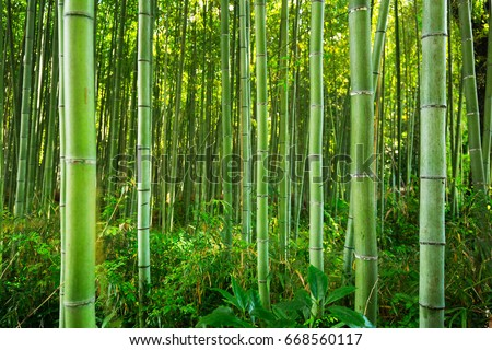 Bamboo forest of Arashiyama near Kyoto, Japan Royalty-Free Stock Photo #668560117