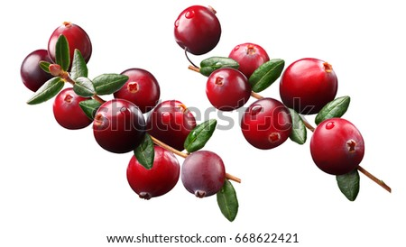 Cranberry branch (Vaccinium oxycoccus) composition elements, plant with fruits #668622421