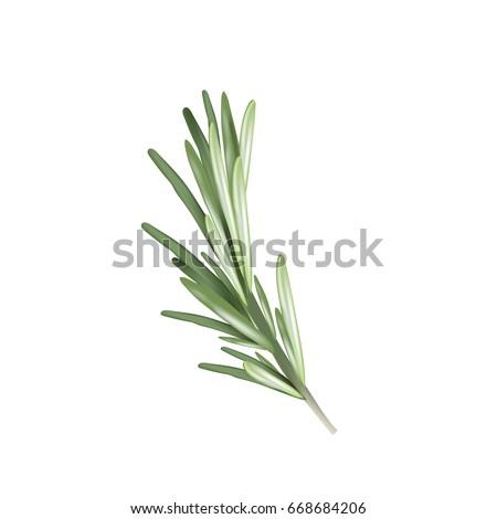 Rosemary herb spice. Vector illustration of a rosemary Royalty-Free Stock Photo #668684206