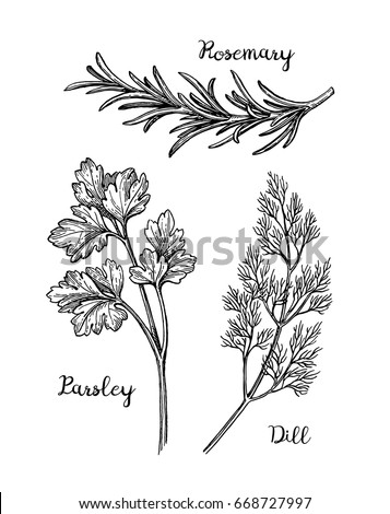 Herbs set.  Isolated on white background. Hand drawn vector illustration. Retro style. #668727997