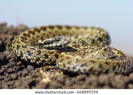 beautiful male meadow viper basking on ground ( Vipera ursinii rakosiensis ) #668899594