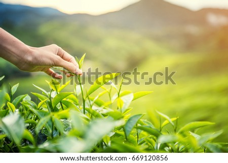Women Hand finger picking up  tea leaves at a tea plantation for product , Natural selected , Fresh tea leaves in tea farm in Cameron Highlands, Malaysia #669120856
