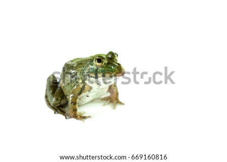 Frog on the white background,thailand,Can be eaten. #669160816