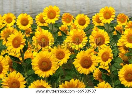 sunflower #66933937