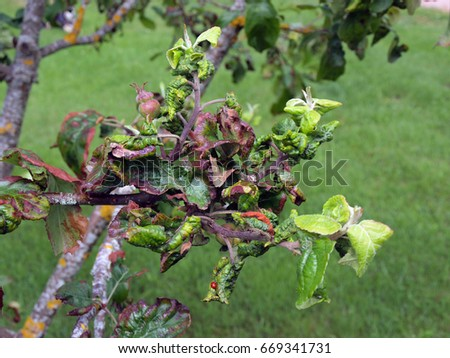 Curled and distorted apple tree leaves damaged by infection disease     #669341731