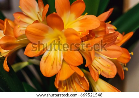 .Clivia (Clivia) is a genus of perennial evergreen herbaceous plants of the family Amaryllidaceae  #669521548