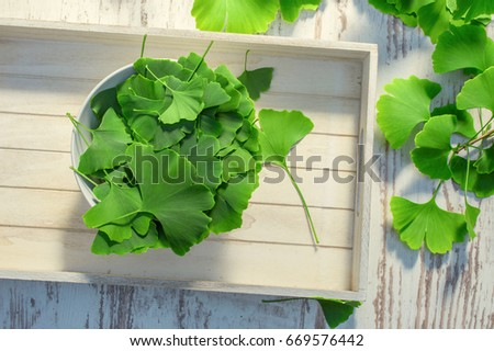 Collected leaves from ginko biloba tree ready for drying #669576442