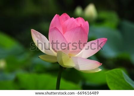 Lotus flowers #669616489