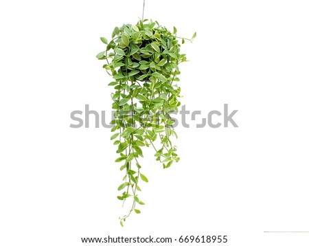 green plant hanging isolated on white background Royalty-Free Stock Photo #669618955
