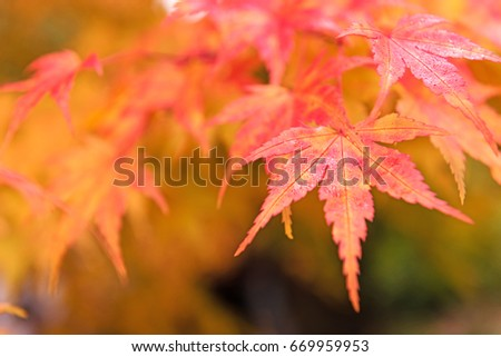 Red and yellow tree leaves on a tree in autumn. Outdoor photo without filters. Wonderfull background. #669959953