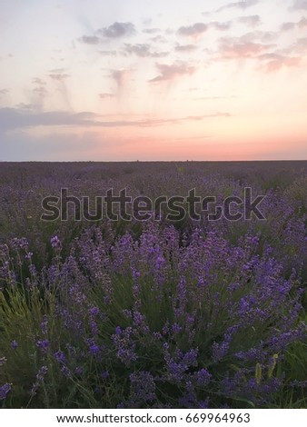 Sunset on the lavender field #669964963