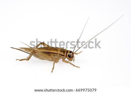 house cricket female separated