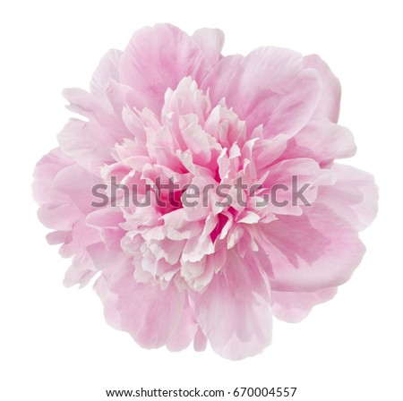 beautiful pink peony isolated on a white #670004557
